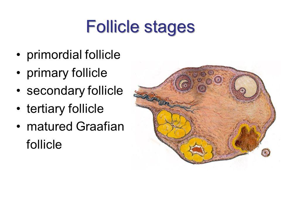 Follicle stages primordial follicle primary follicle secondary follicle tertiary follicle matured Graafian follicle