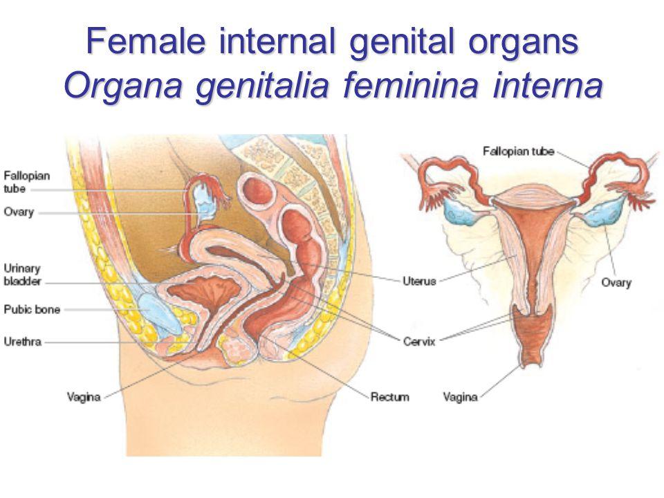 Female internal genital organs Organa genitalia feminina interna
