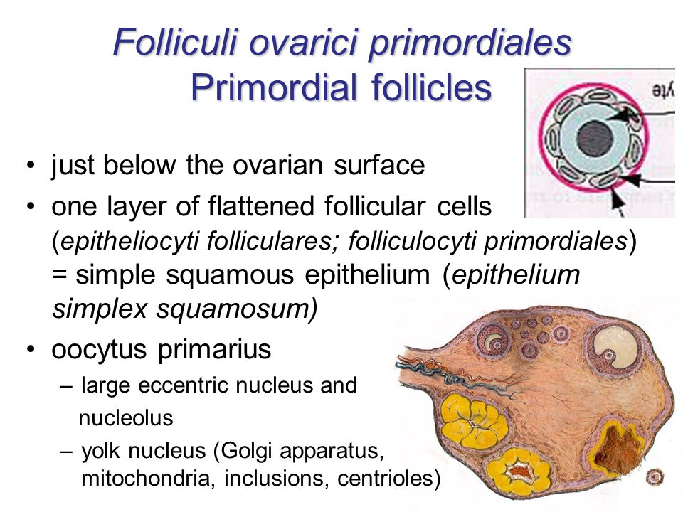just below the ovarian surface one layer of flattened follicular cells (epitheliocyti folliculares ; folliculocyti primordiales ) = simple squamous epithelium (epithelium simplex squamosum) oocytus primarius –large eccentric nucleus and nucleolus –yolk nucleus (Golgi apparatus, mitochondria, inclusions, centrioles) Folliculi ovarici primordiales Primordial follicles
