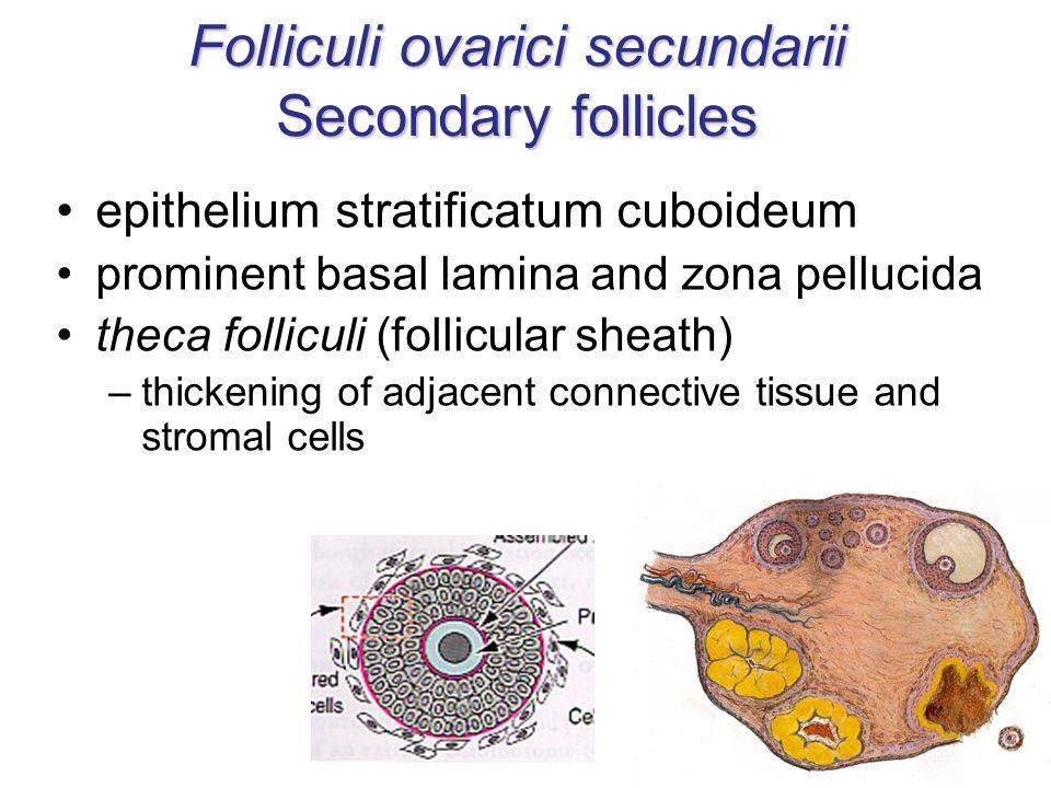 epithelium stratificatum cuboideum prominent basal lamina and zona pellucida theca folliculi (follicular sheath) –thickening of adjacent connective tissue and stromal cells Folliculi ovarici secundarii Secondary follicles
