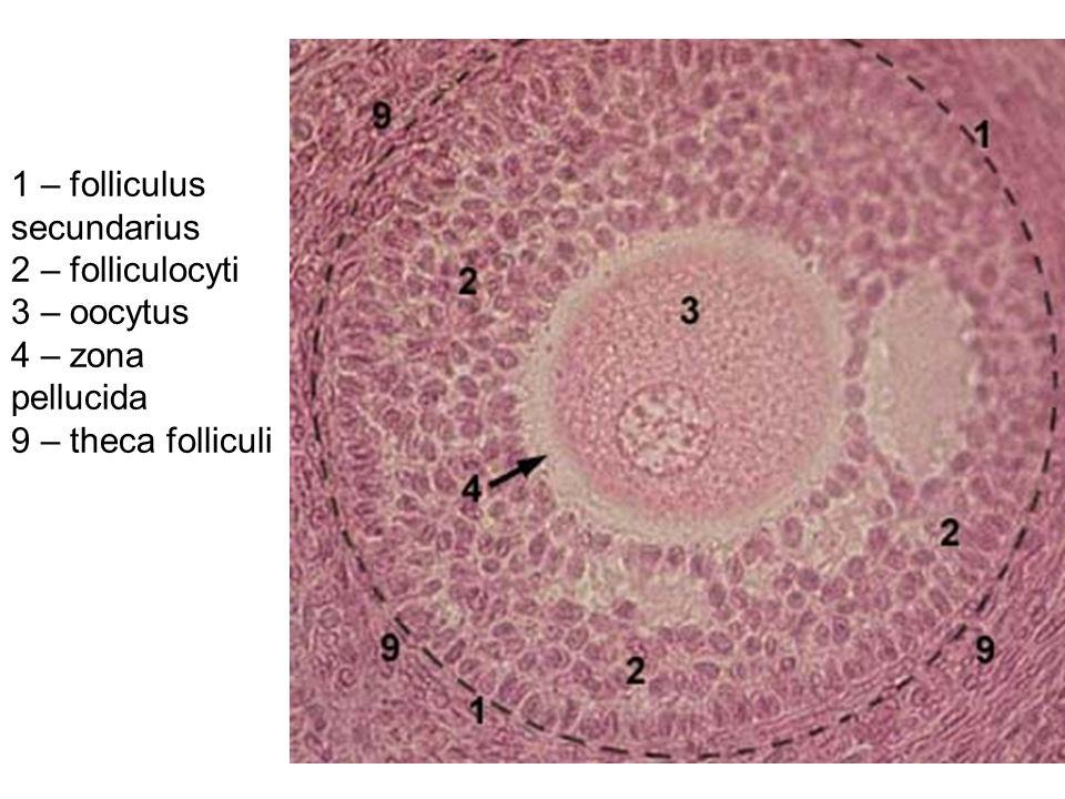 1 – folliculus secundarius 2 – folliculocyti 3 – oocytus 4 – zona pellucida 9 – theca folliculi