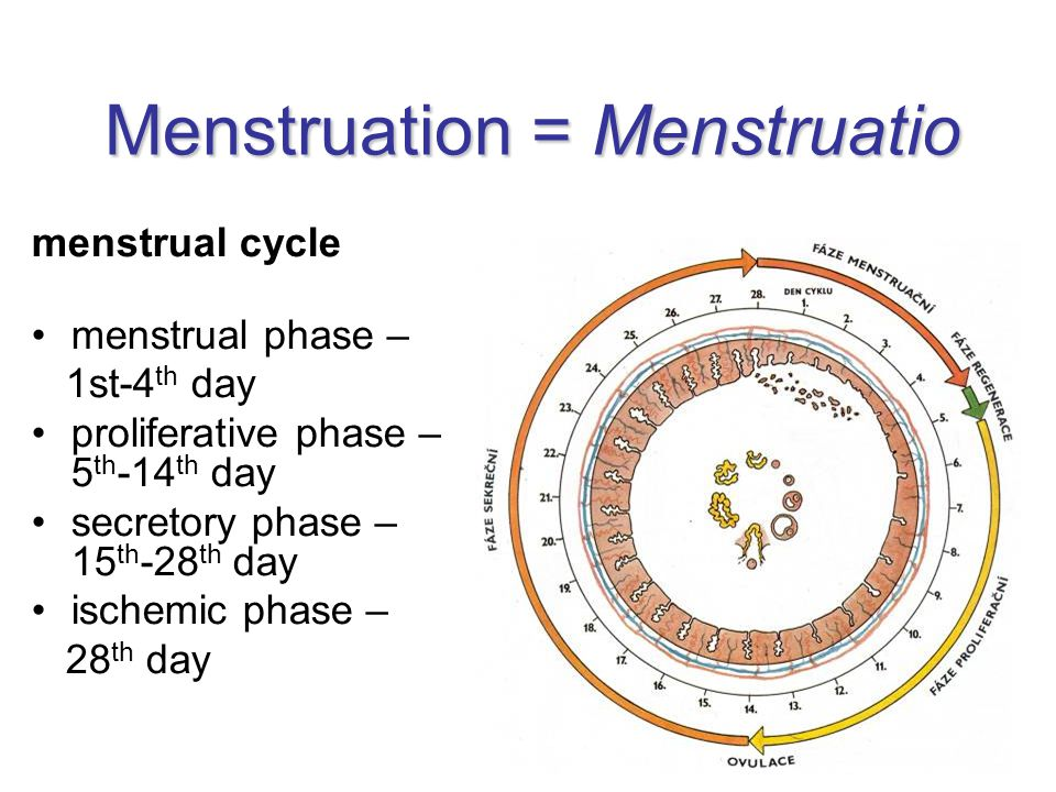 Menstruation = Menstruatio menstrual cycle menstrual phase – 1st-4 th day proliferative phase – 5 th -14 th day secretory phase – 15 th -28 th day ischemic phase – 28 th day