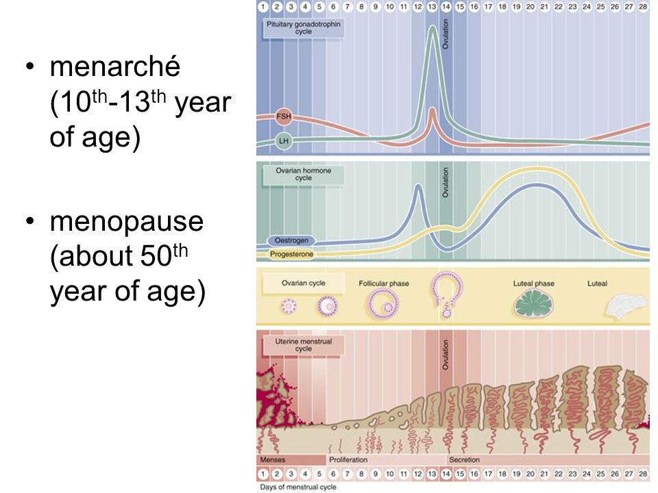 menarché (10 th -13 th year of age) menopause (about 50 th year of age)