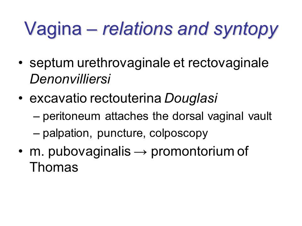 Vagina – relations and syntopy septum urethrovaginale et rectovaginale Denonvilliersi excavatio rectouterina Douglasi –peritoneum attaches the dorsal vaginal vault –palpation, puncture, colposcopy m.