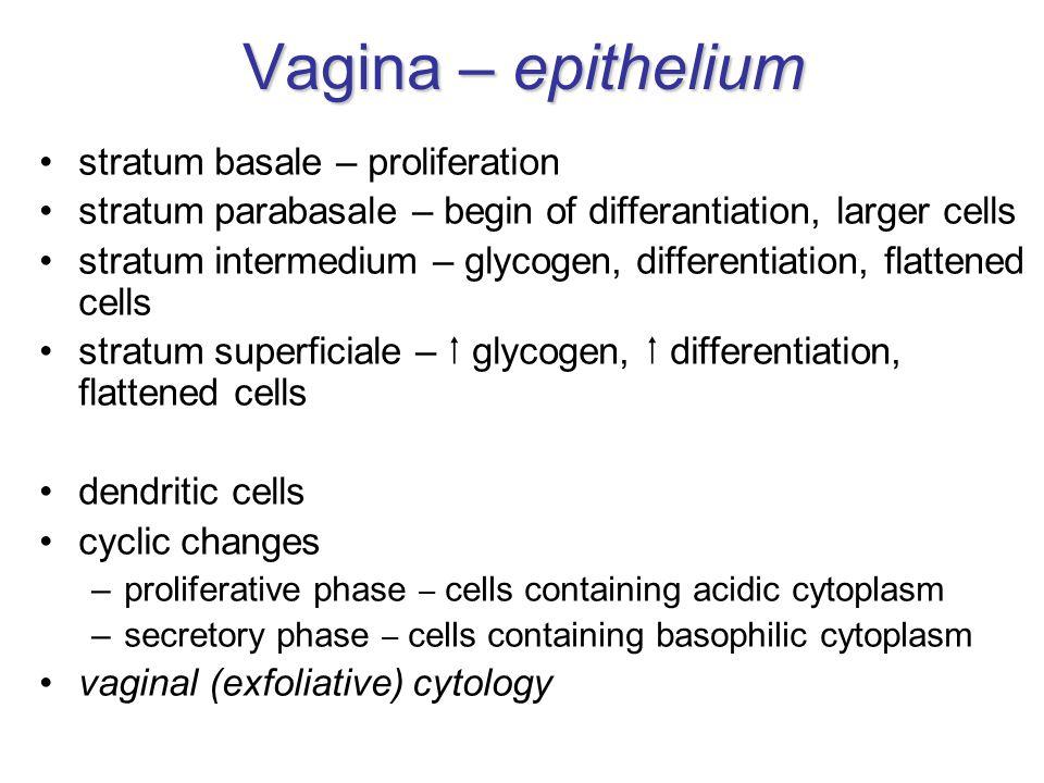 Vagina – epithelium stratum basale – proliferation stratum parabasale – begin of differantiation, larger cells stratum intermedium – glycogen, differentiation, flattened cells stratum superficiale –  glycogen,  differentiation, flattened cells dendritic cells cyclic changes –proliferative phase – cells containing acidic cytoplasm –secretory phase – cells containing basophilic cytoplasm vaginal (exfoliative) cytology