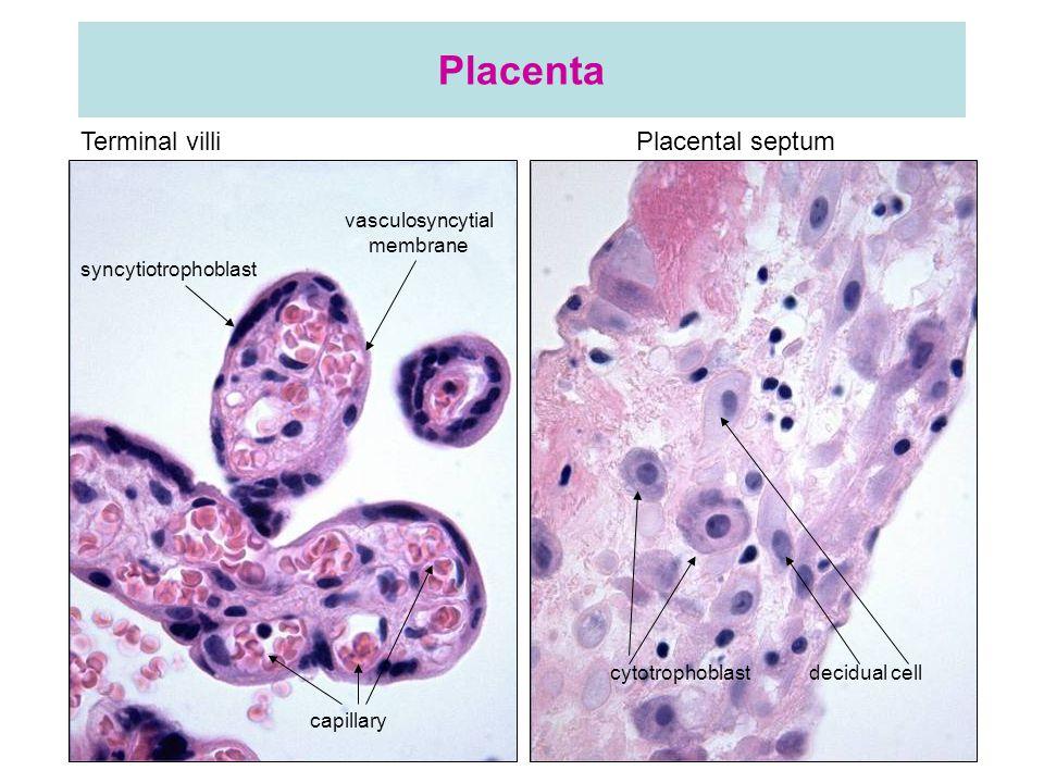 Placenta Terminal villi Placental septum syncytiotrophoblast vasculosyncytial membrane cytotrophoblast decidual cell capillary
