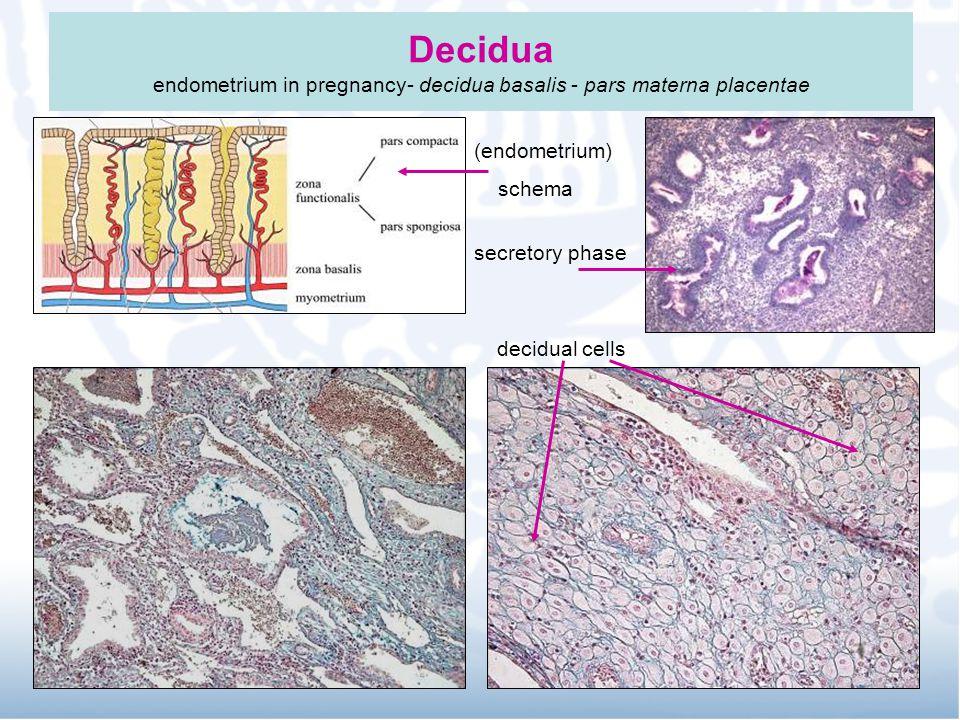 Decidua endometrium in pregnancy- decidua basalis - pars materna placentae (endometrium) schema secretory phase decidual cells