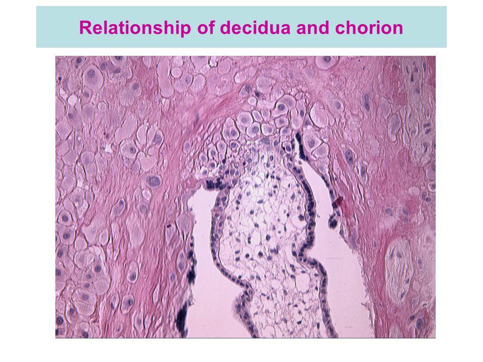 Relationship of decidua and chorion