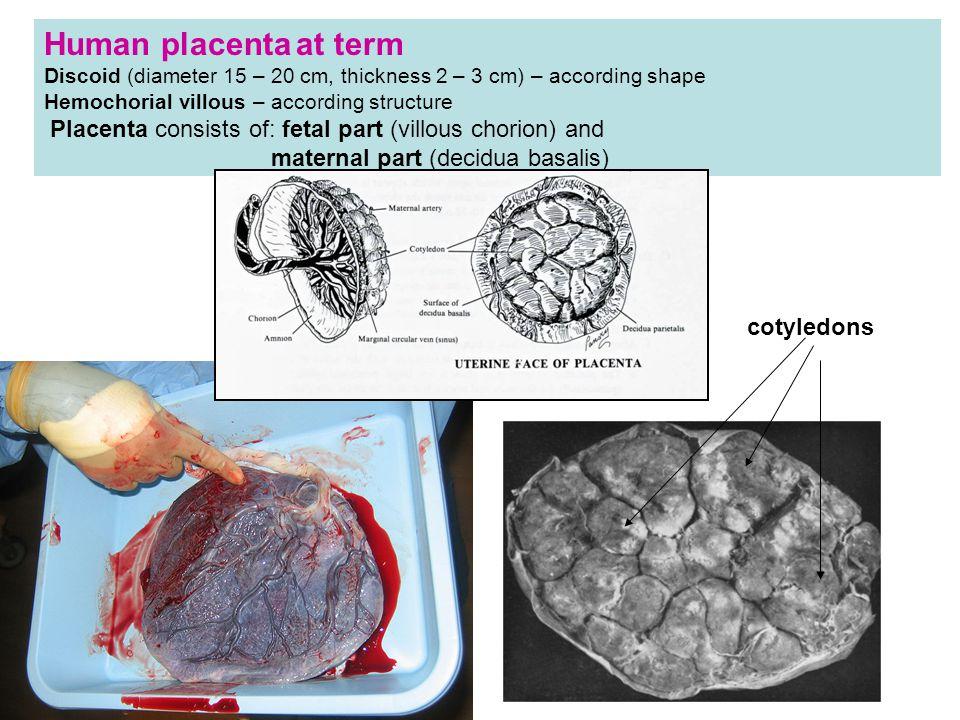 Human placenta at term Discoid (diameter 15 – 20 cm, thickness 2 – 3 cm) – according shape Hemochorial villous – according structure Placenta consists of: fetal part (villous chorion) and maternal part (decidua basalis) cotyledons