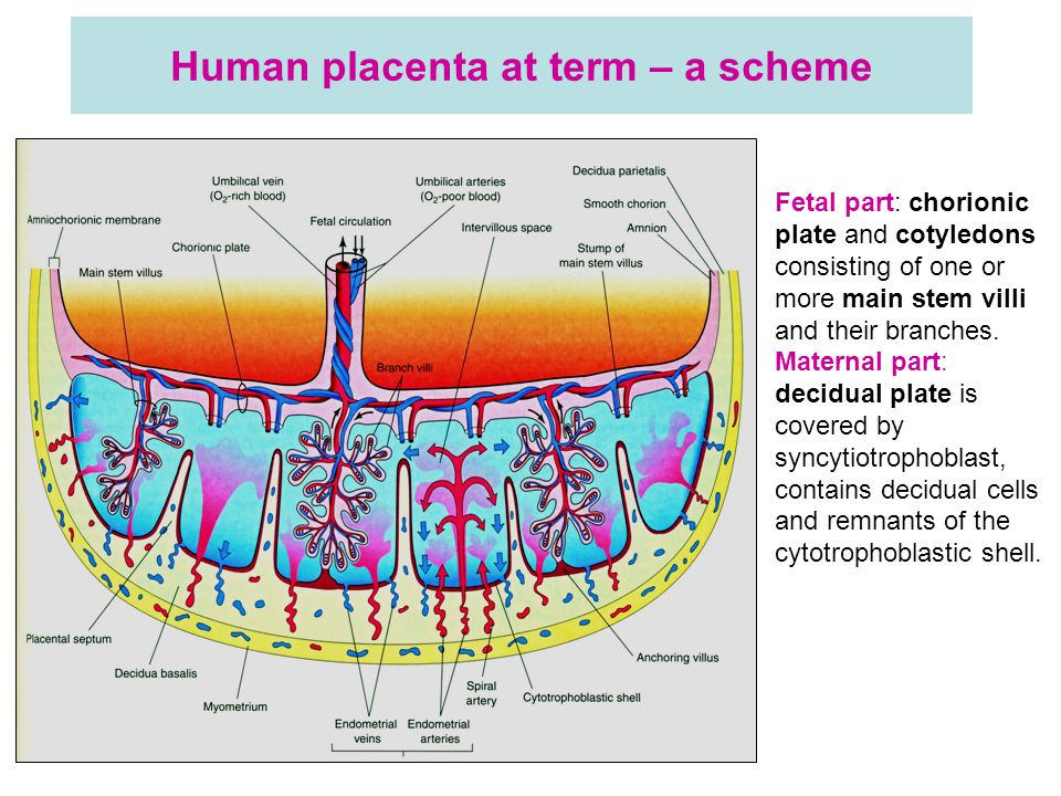 Human placenta at term – a scheme Fetal part: chorionic plate and cotyledons consisting of one or more main stem villi and their branches.