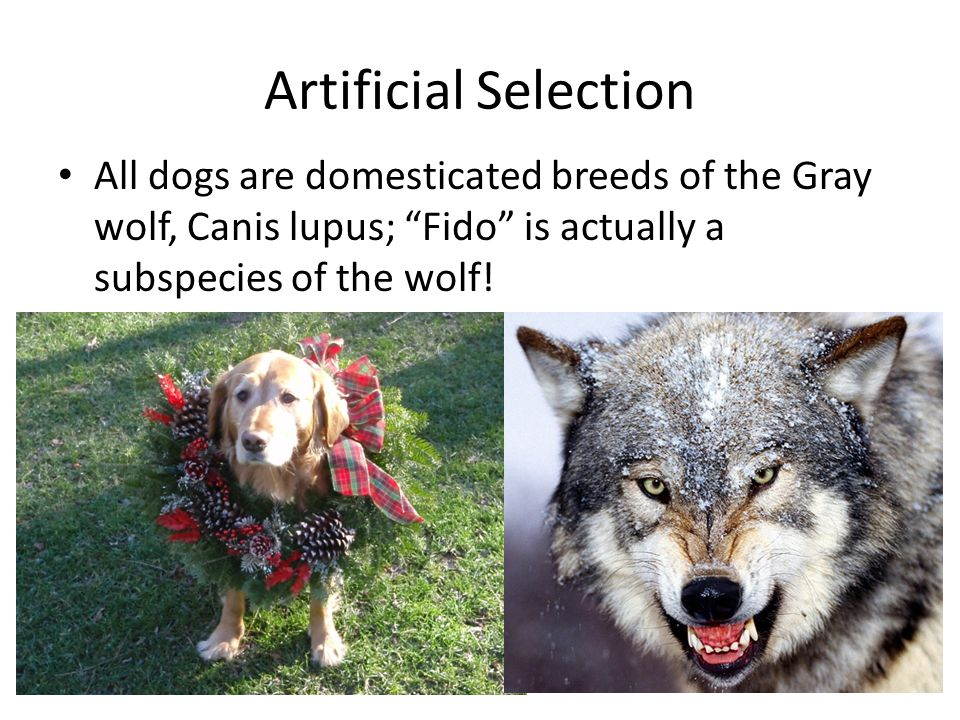 """Artificial Selection All dogs are domesticated breeds of the Gray wolf, Canis lupus; """"Fido"""" is actually a subspecies of the wolf!"""