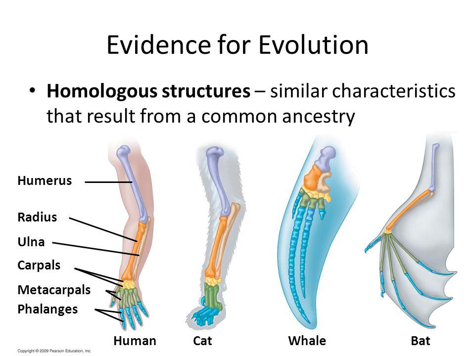 Humerus Radius Ulna Carpals Metacarpals Phalanges HumanCatWhaleBat Evidence for Evolution Homologous structures – similar characteristics that result