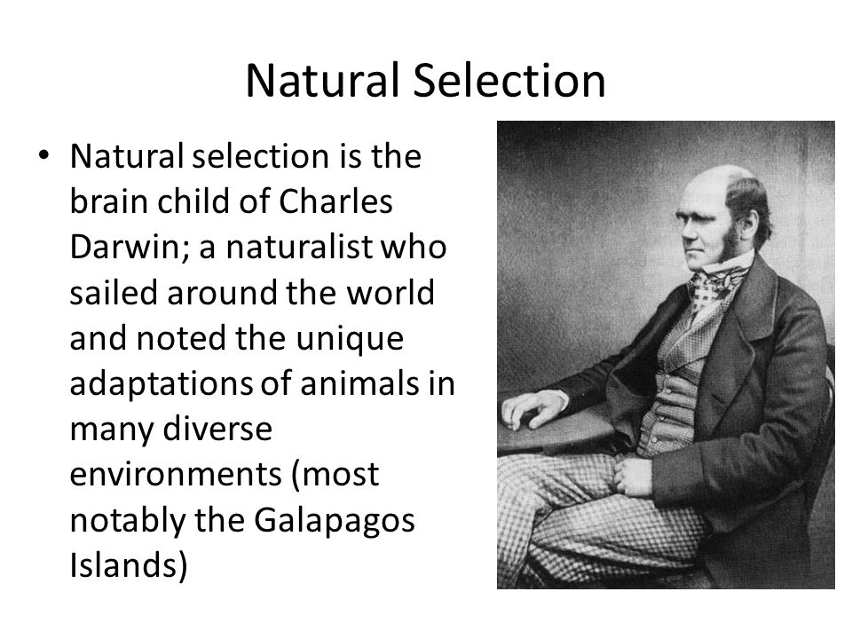 Natural Selection Natural selection is the brain child of Charles Darwin; a naturalist who sailed around the world and noted the unique adaptations of