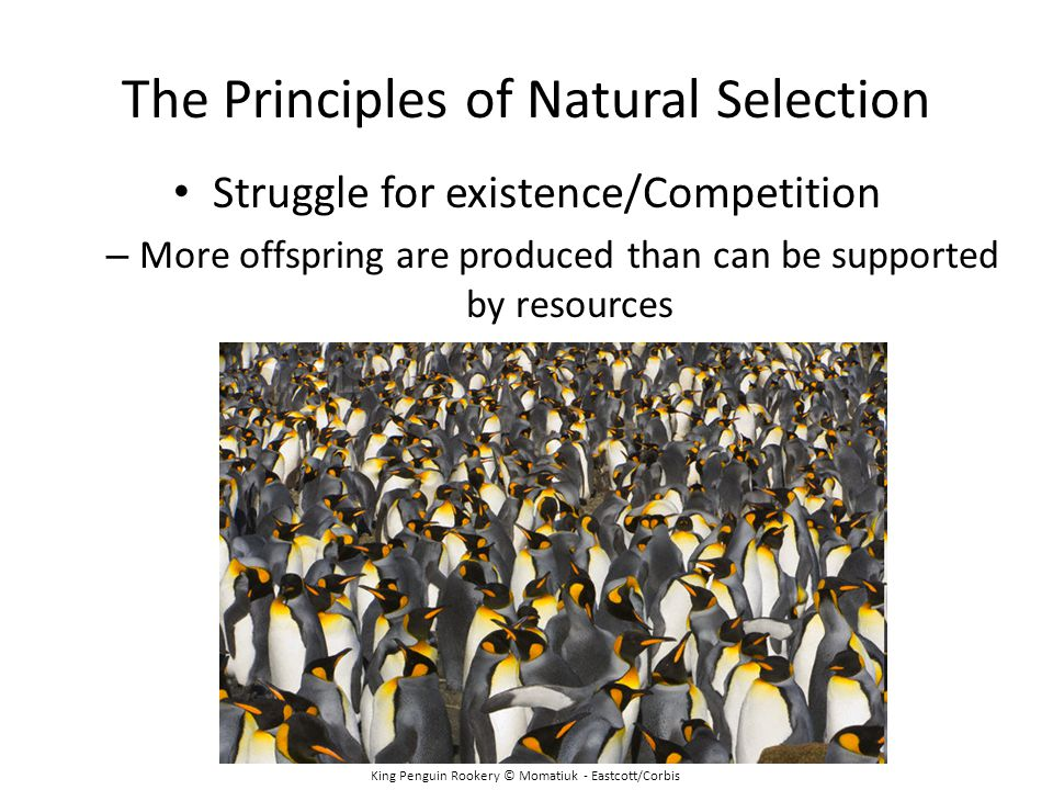 The Principles of Natural Selection King Penguin Rookery © Momatiuk - Eastcott/Corbis Struggle for existence/Competition – More offspring are produced than can be supported by resources