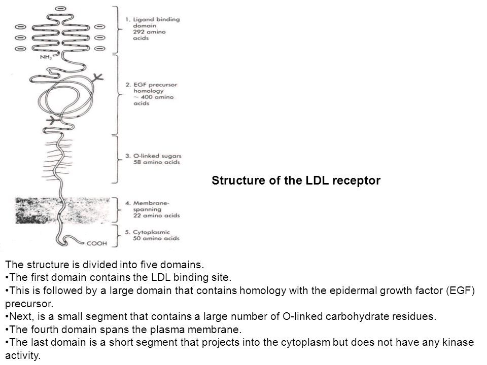 Structure of the LDL receptor The structure is divided into five domains.