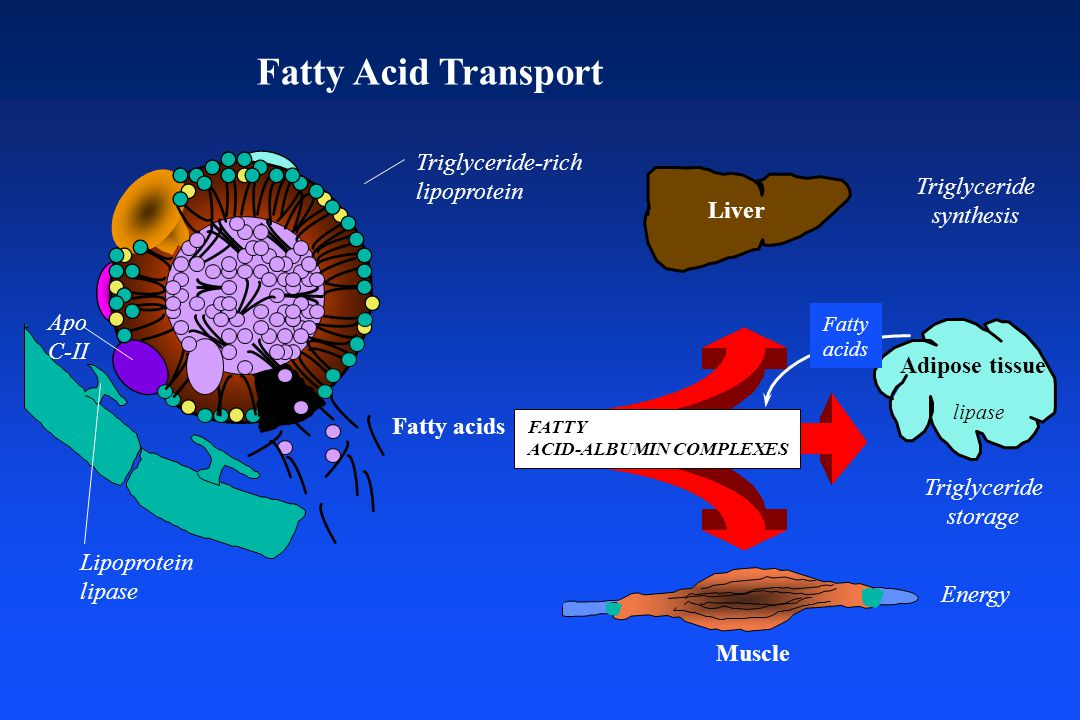 Fatty Acid Transport Triglyceride-rich lipoprotein Lipoprotein lipase Apo C-II Fatty acids Triglyceride synthesis lipase Triglyceride storage Energy FATTY ACID-ALBUMIN COMPLEXES Liver Adipose tissue Muscle Fatty acids