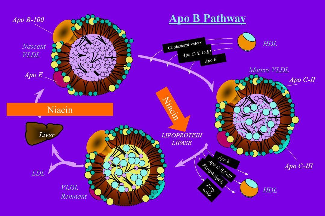 Apo B Pathway Apo B-100 Apo E Nascent VLDL Mature VLDL VLDL Remnant LDL Liver LIPOPROTEIN LIPASE HDL Cholesterol esters Apo E Apo C-II,C-III Phospholipids Fatty acids HDL Apo C-II, C-III Apo C-III Apo C-II Niacin