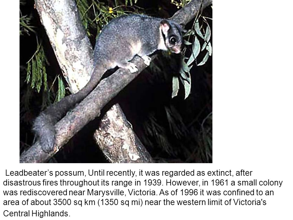 Leadbeater's possum, Until recently, it was regarded as extinct, after disastrous fires throughout its range in 1939.