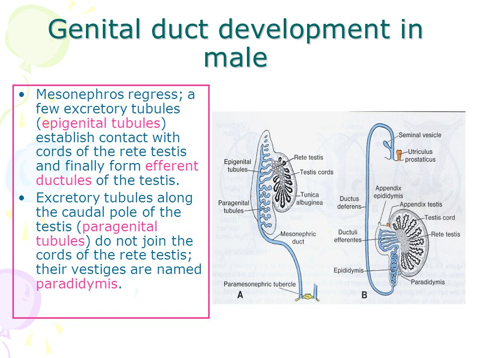 Genital duct development in male Mesonephros regress; a few excretory tubules (epigenital tubules) establish contact with cords of the rete testis and