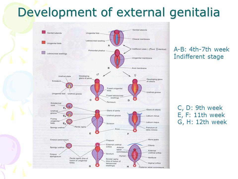 Development of external genitalia A-B: 4th-7th week İndifferent stage C, D: 9th week E, F: 11th week G, H: 12th week