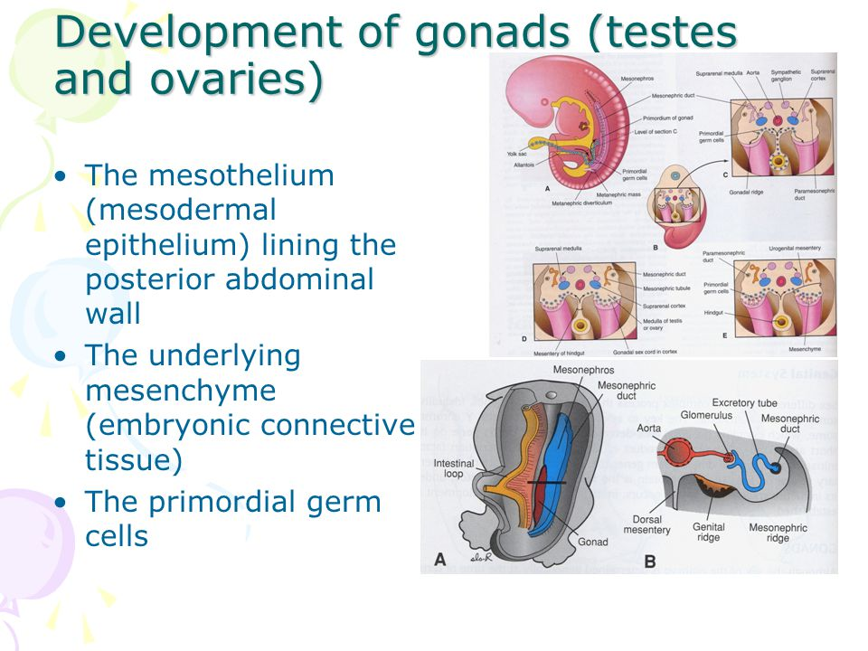 Development of gonads (testes and ovaries) The mesothelium (mesodermal epithelium) lining the posterior abdominal wall The underlying mesenchyme (embr