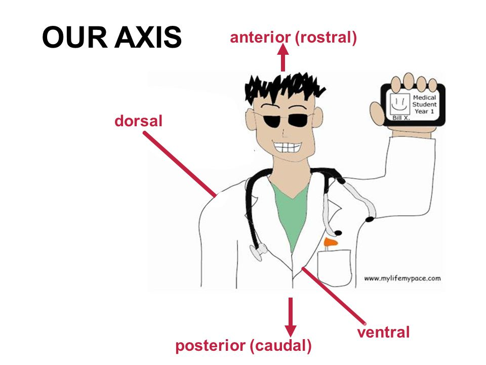 ventral anterior (rostral) posterior (caudal) dorsal OUR AXIS
