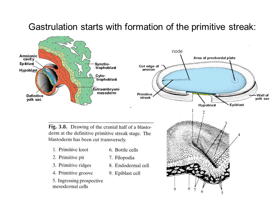 Gastrulation starts with formation of the primitive streak: node