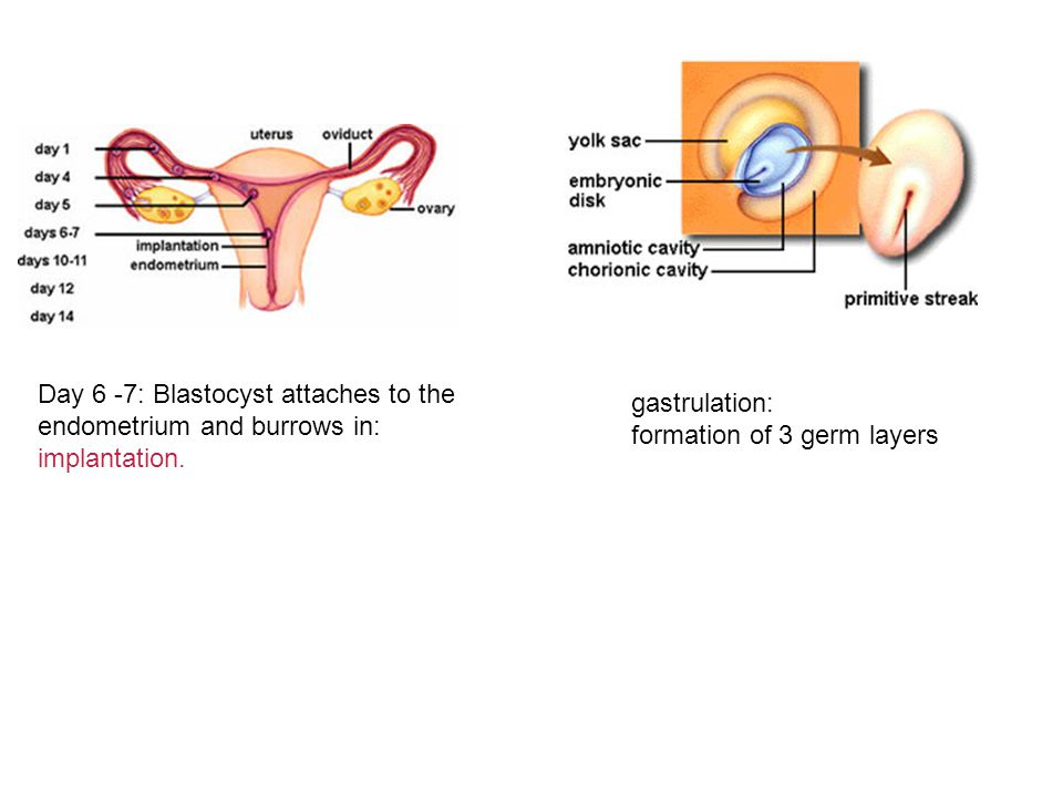 Day 6 -7: Blastocyst attaches to the endometrium and burrows in: implantation. gastrulation: formation of 3 germ layers