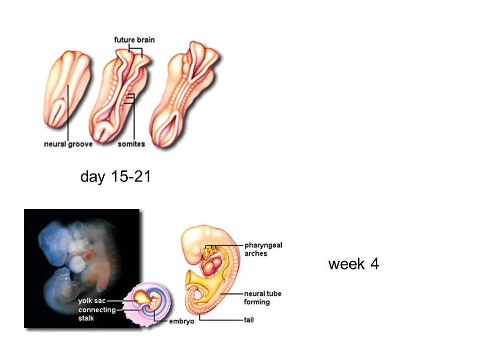 day 15-21 week 4