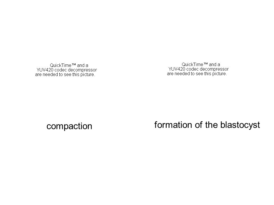 formation of the blastocyst compaction