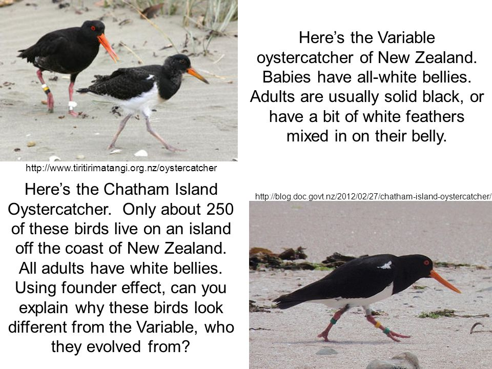 Here's the Variable oystercatcher of New Zealand.Babies have all-white bellies.