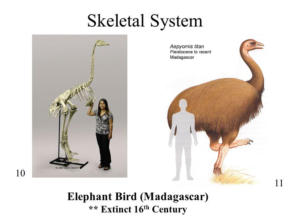 Tarsometatarsus = Proximal Tarsals + Metatarsals Appendicular Skeleton: Tibiotarsus