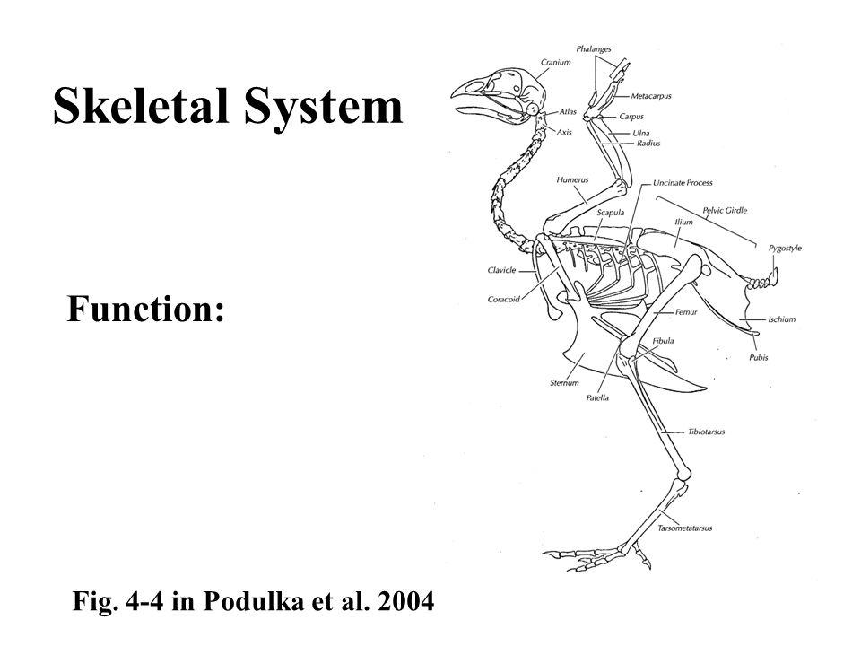 Fig. 4-4 in Podulka et al. 2004 Skeletal System Function: