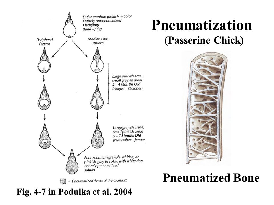 Fig. 4-7 in Podulka et al. 2004 Pneumatization (Passerine Chick) Pneumatized Bone