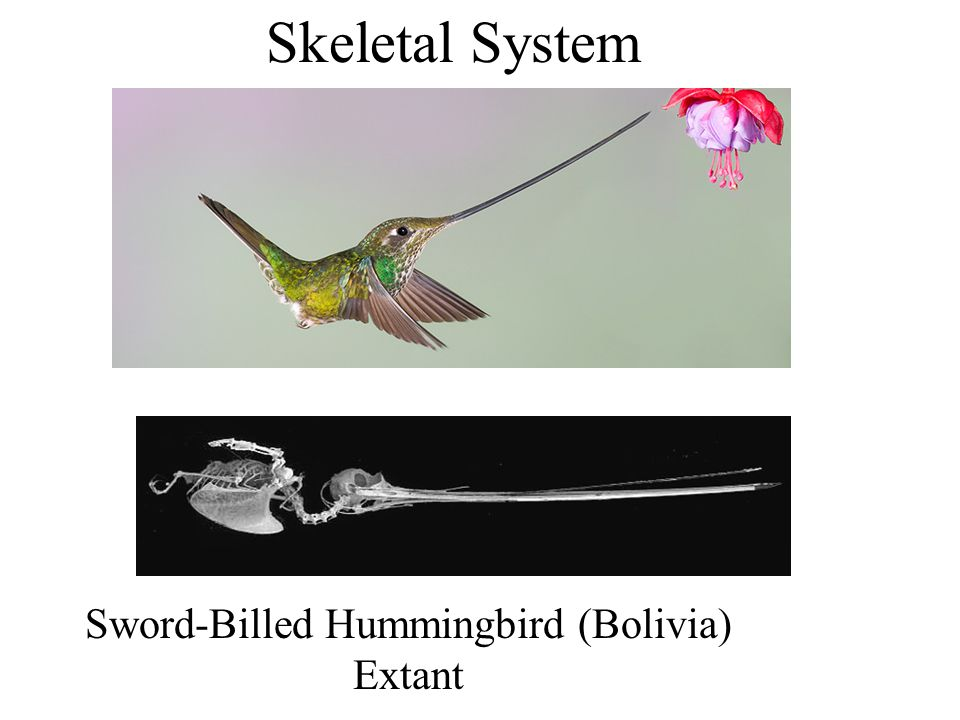 Axial Skeleton: Sternum Fig. 4-19 in Podulka et al. 2004 23 Ratite