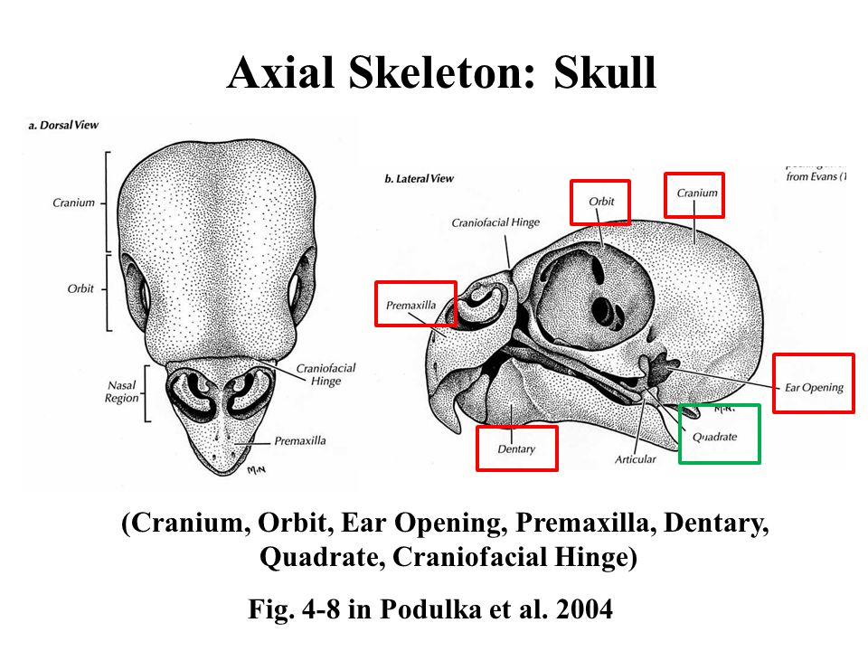Axial Skeleton: Skull Fig. 4-8 in Podulka et al.