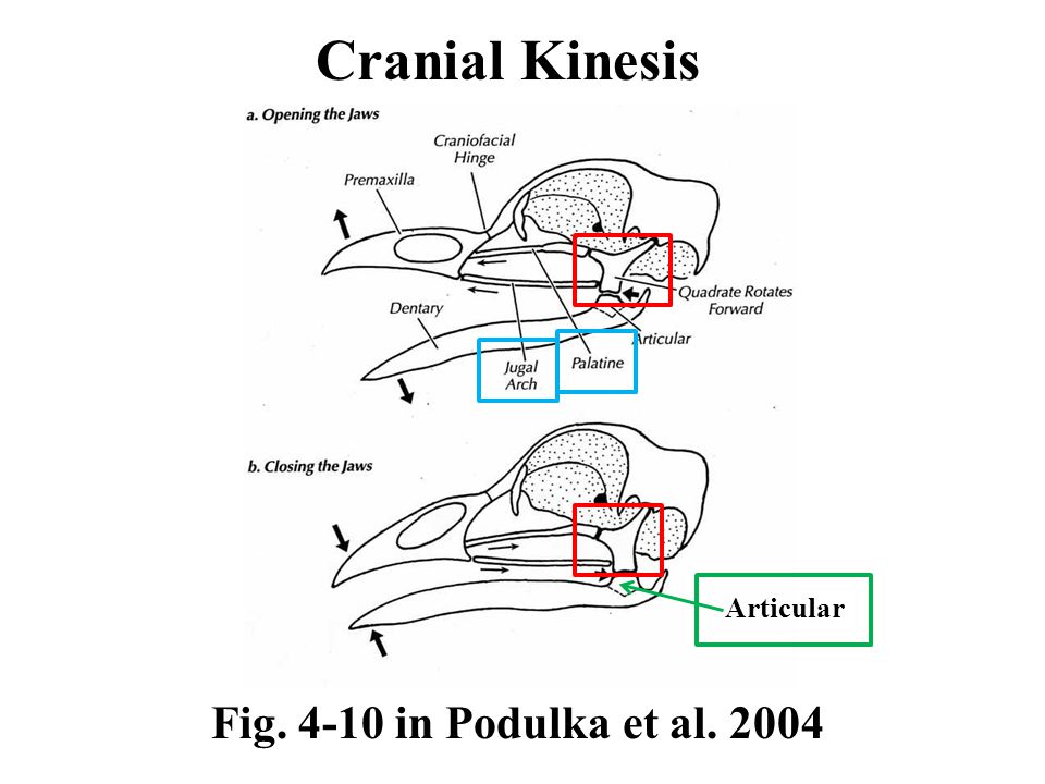 Fig. 4-10 in Podulka et al. 2004 Cranial Kinesis Articular