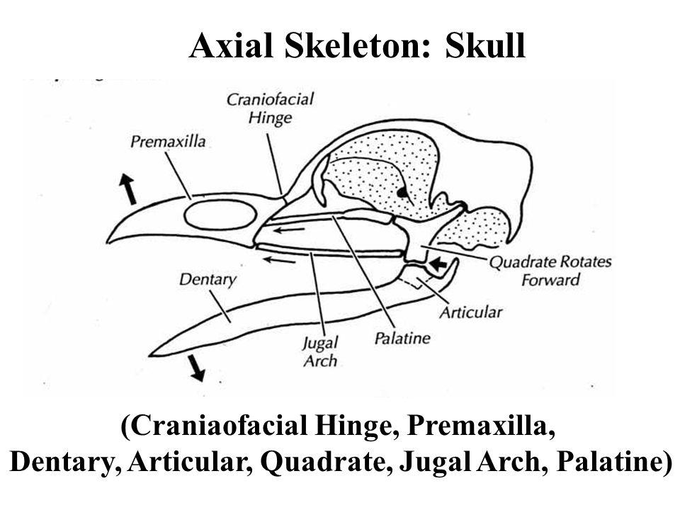 Axial Skeleton: Skull (Craniaofacial Hinge, Premaxilla, Dentary, Articular, Quadrate, Jugal Arch, Palatine)
