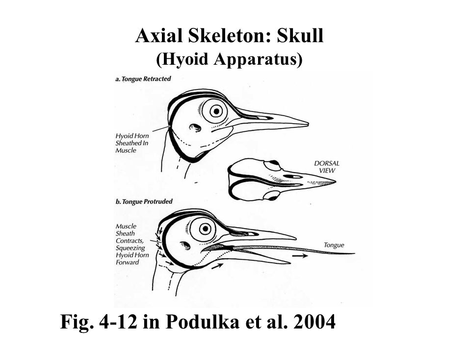 Axial Skeleton: Skull (Hyoid Apparatus) Fig. 4-12 in Podulka et al. 2004