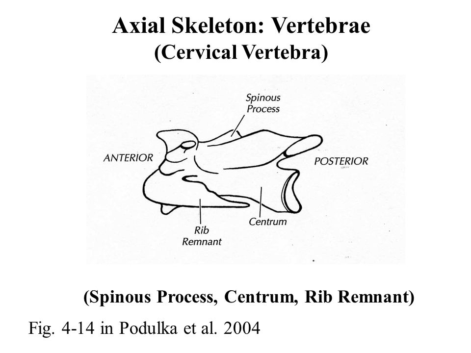 Axial Skeleton: Vertebrae (Cervical Vertebra) Fig.