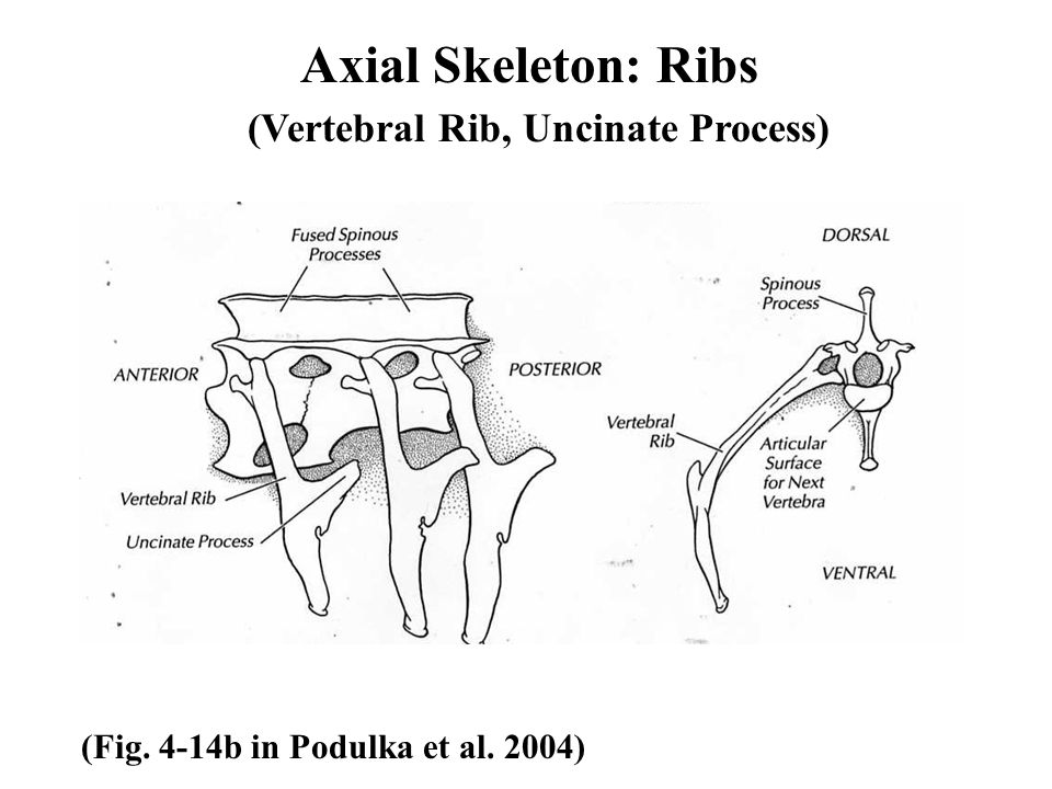 Axial Skeleton: Ribs (Fig. 4-14b in Podulka et al. 2004) (Vertebral Rib, Uncinate Process)