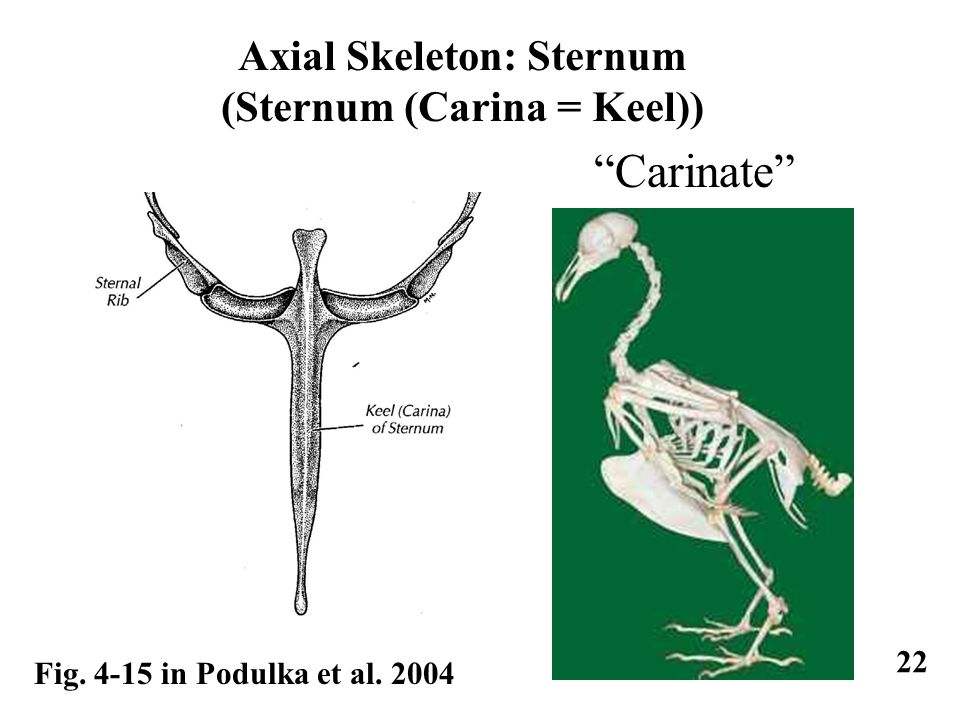 Axial Skeleton: Sternum (Sternum (Carina = Keel)) Fig. 4-15 in Podulka et al. 2004 22 Carinate