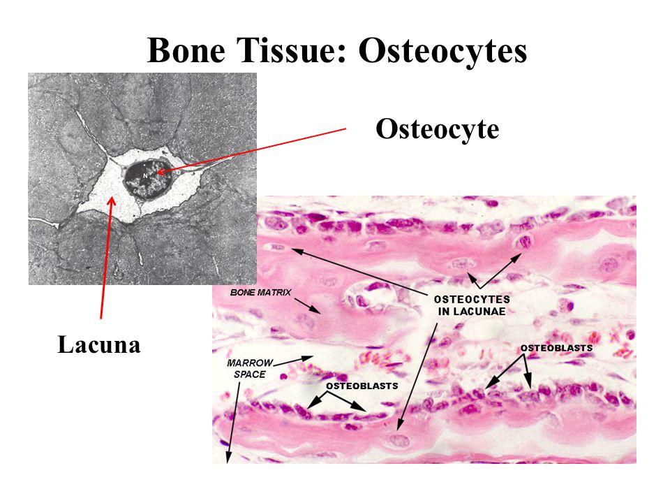 Bone Tissue: Vascularization 5