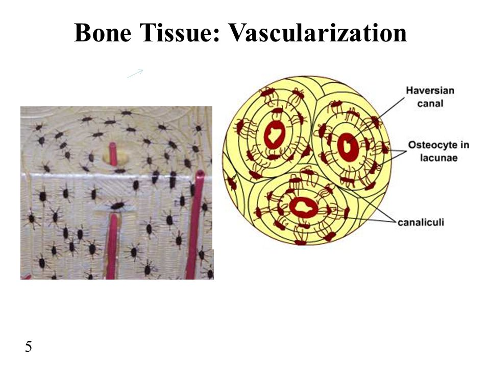 Bone Tissue: Vascularization 5