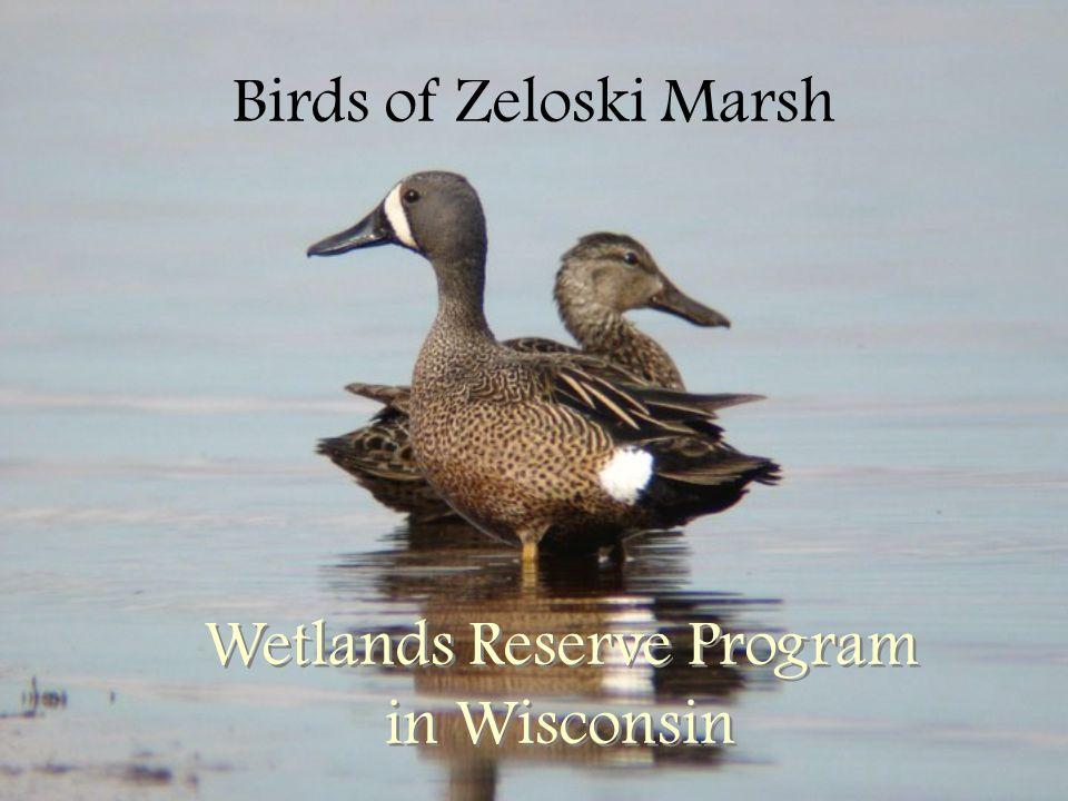 Birds of Zeloski Marsh Wetlands Reserve Program in Wisconsin
