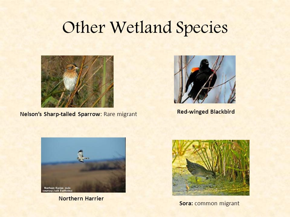 Other Wetland Species Nelson's Sharp-tailed Sparrow: Rare migrant Sora: common migrant Red-winged Blackbird Northern Harrier
