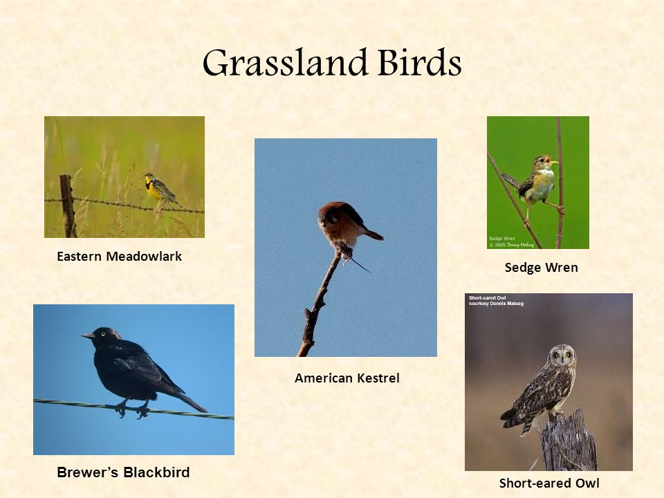 Grassland Birds Eastern Meadowlark American Kestrel Brewer's Blackbird Sedge Wren Short-eared Owl