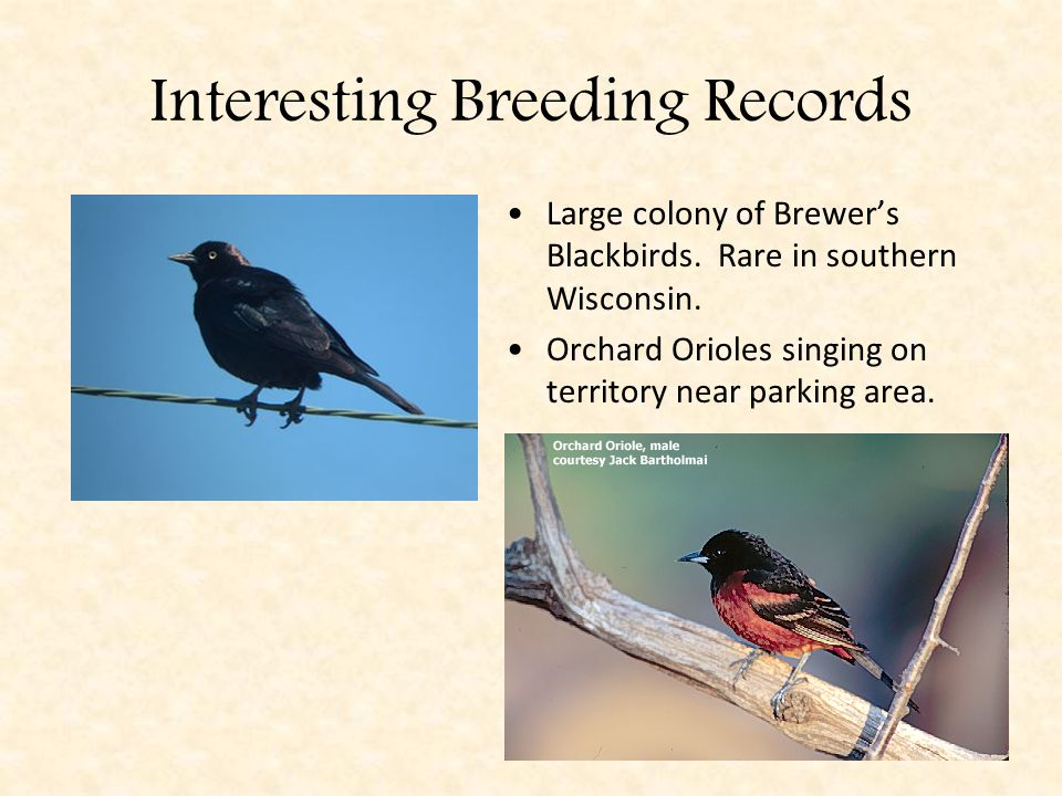Interesting Breeding Records Large colony of Brewer's Blackbirds.