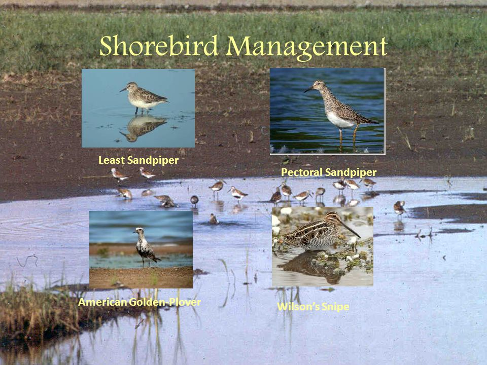 Shorebird Management Wilson's Snipe American Golden-Plover Pectoral Sandpiper Least Sandpiper