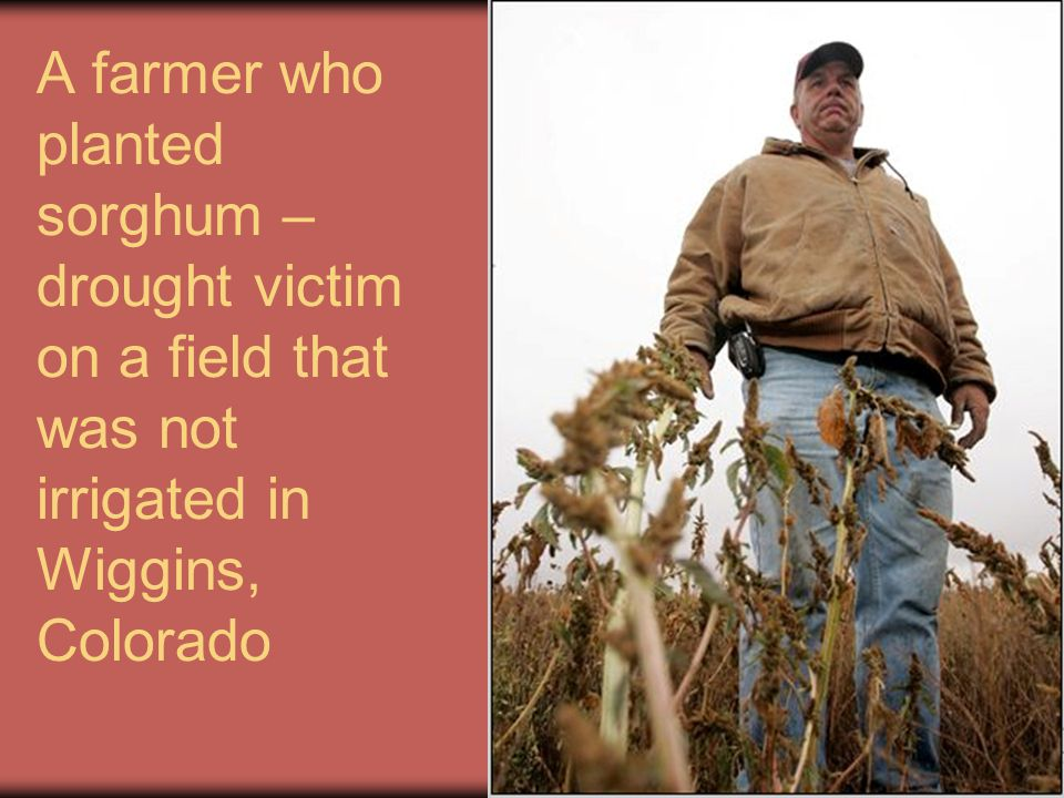 A farmer who planted sorghum – drought victim on a field that was not irrigated in Wiggins, Colorado